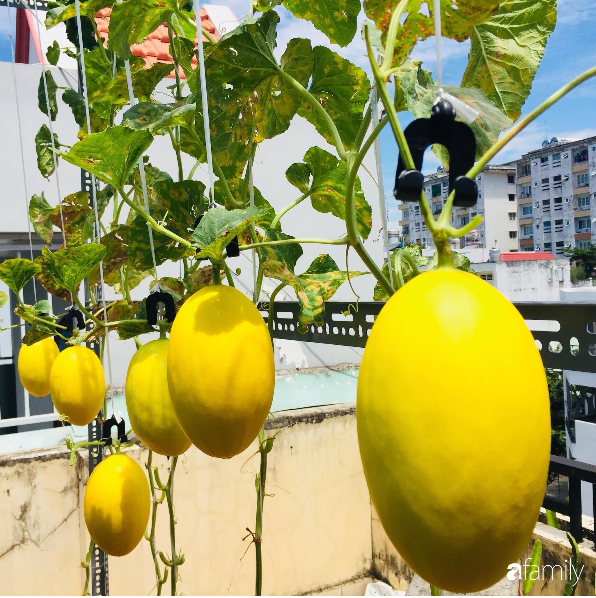 """Gặp """"siêu nhân"""" trồng dưa trên sân thượng với kinh nghiệm đáng ngưỡng mộ ở Sài Gòn - Ảnh 7."""