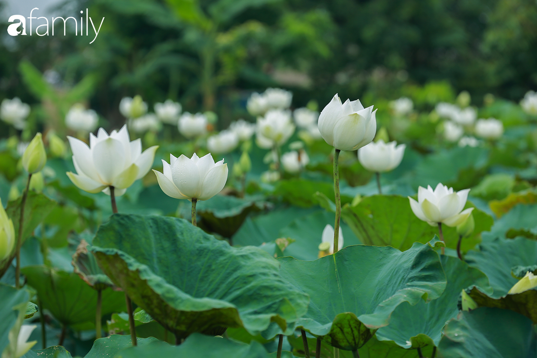 Chuyện ít biết về người đàn ông mang nét đẹp xứ Huế về vùng ngoại thành Hà Nội nhân giống, làm nên đầm sen trắng tinh khôi khiến vạn người mê - Ảnh 5.