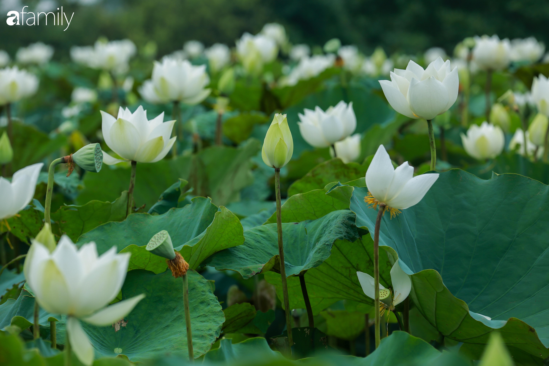 Chuyện ít biết về người đàn ông mang nét đẹp xứ Huế về vùng ngoại thành Hà Nội nhân giống, làm nên đầm sen trắng tinh khôi khiến vạn người mê - Ảnh 9.