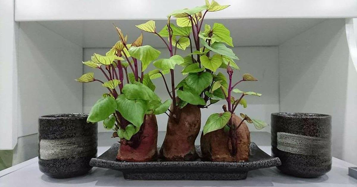 """""""Nâng tầm"""" cây khoai lang lên thành bonsai sang chảnh nhờ trồng vào những loại bình này - Ảnh 2."""