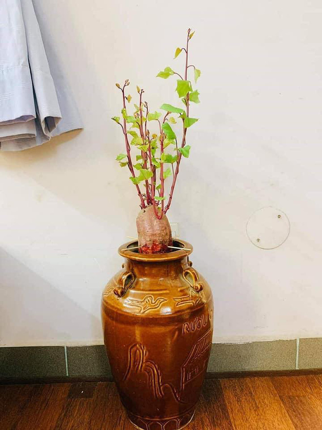 """""""Nâng tầm"""" cây khoai lang lên thành bonsai sang chảnh nhờ trồng vào những loại bình này - Ảnh 4."""