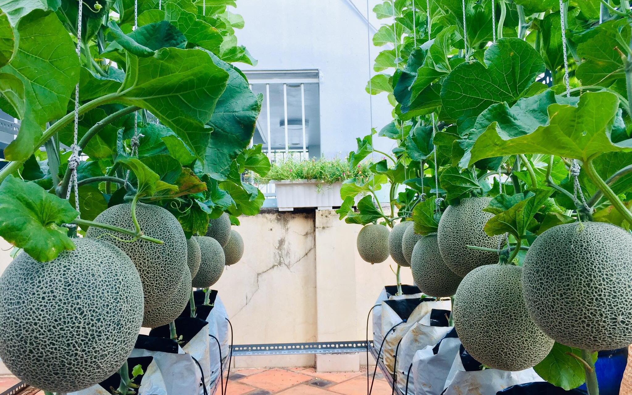 """Gặp """"siêu nhân"""" trồng dưa trên sân thượng với kinh nghiệm đáng ngưỡng mộ ở Sài Gòn"""