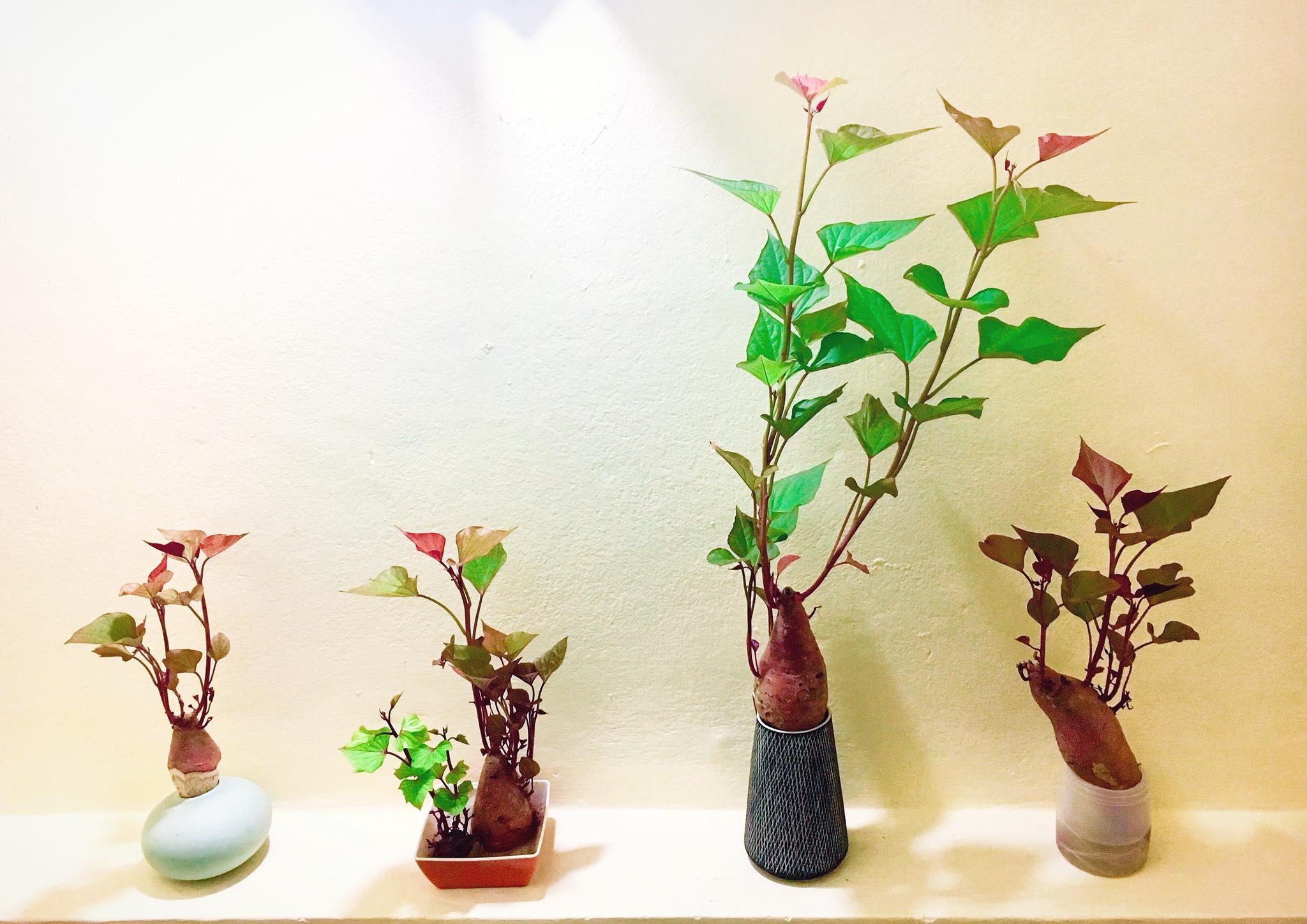 Trồng khoai lang bonsai làm đẹp nhà với các bước dễ vô cùng mà nói ra ai cũng sẽ làm được - Ảnh 1.