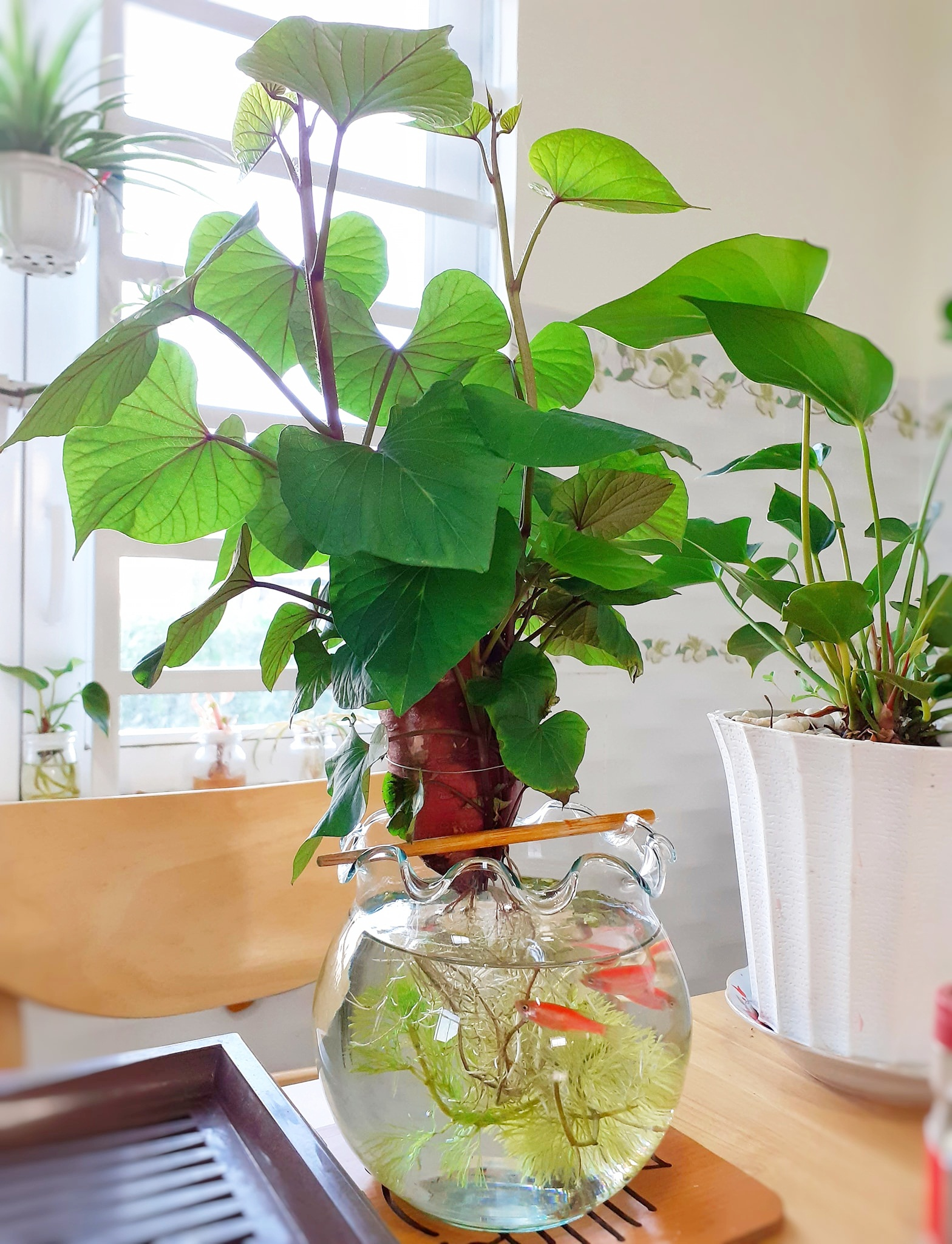 Trồng khoai lang bonsai làm đẹp nhà với các bước dễ vô cùng mà nói ra ai cũng sẽ làm được - Ảnh 9.