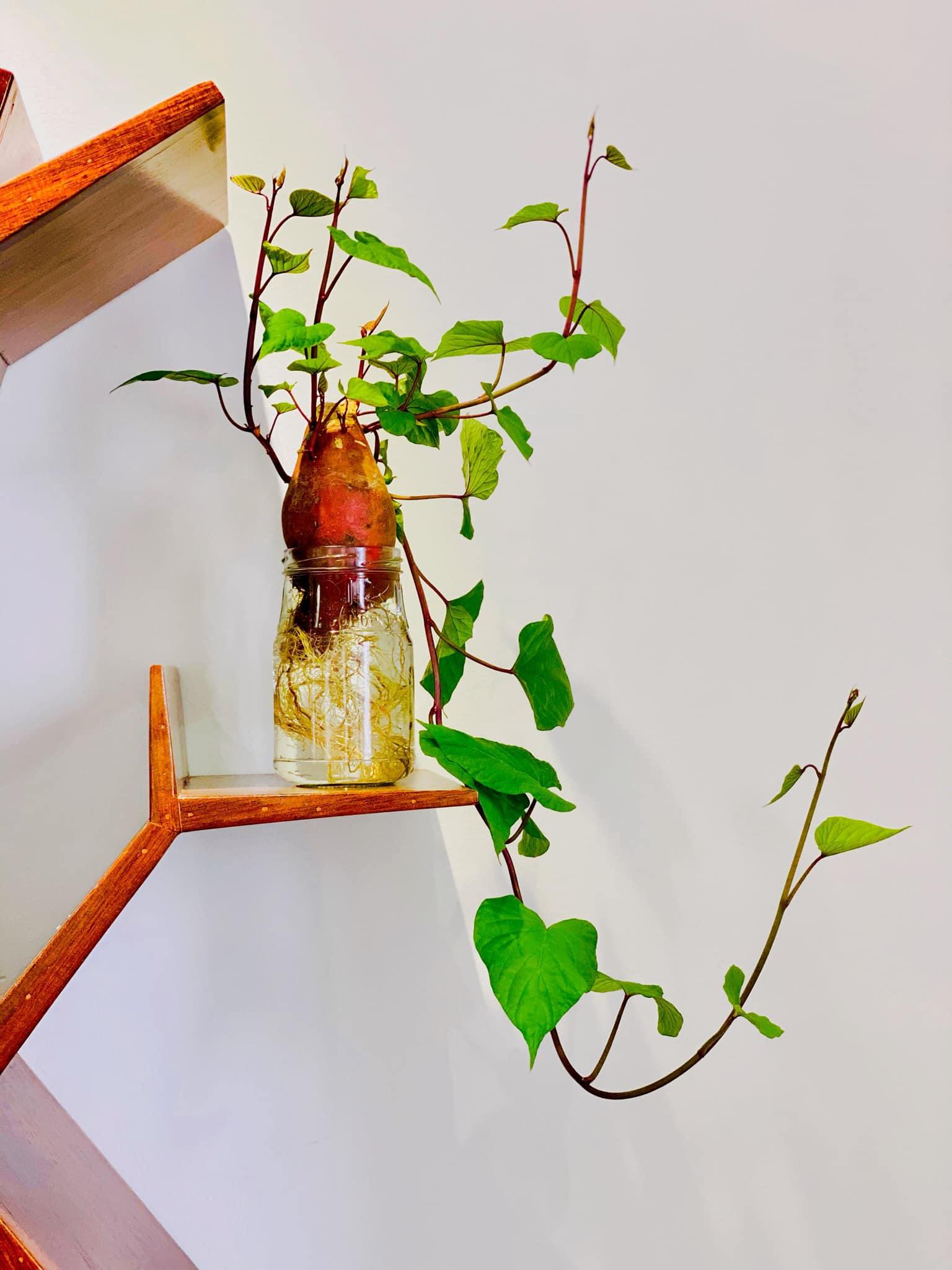Trồng khoai lang bonsai làm đẹp nhà với các bước dễ vô cùng mà nói ra ai cũng sẽ làm được - Ảnh 3.