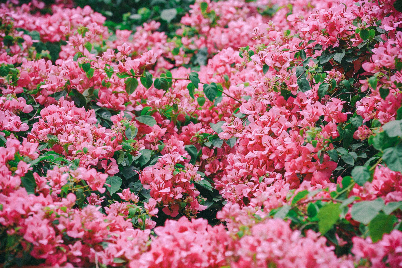 """Hà Nội đẹp thổn thức giữa những góc chụp """"cực phẩm"""" mùa hoa giấy, chỉ sương sương thôi cũng đã khiến chị em phải đứng ngồi không yên rồi - Ảnh 5."""