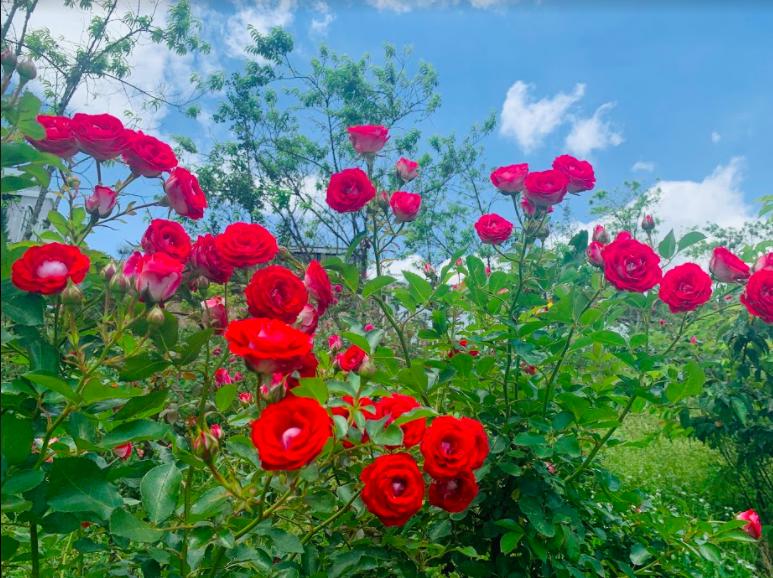 Ngắm thung lũng hoa hồng tuyệt đẹp nhận kỷ lục lớn nhất Việt Nam - Ảnh 6.