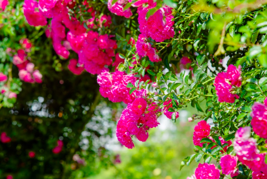Ngắm thung lũng hoa hồng tuyệt đẹp nhận kỷ lục lớn nhất Việt Nam - Ảnh 2.
