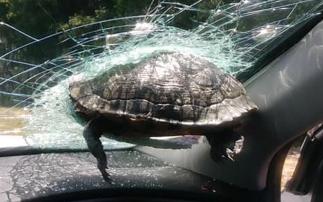 Rùa xuyên thủng kính chắn gió khiến tài xế suýt mất mạng