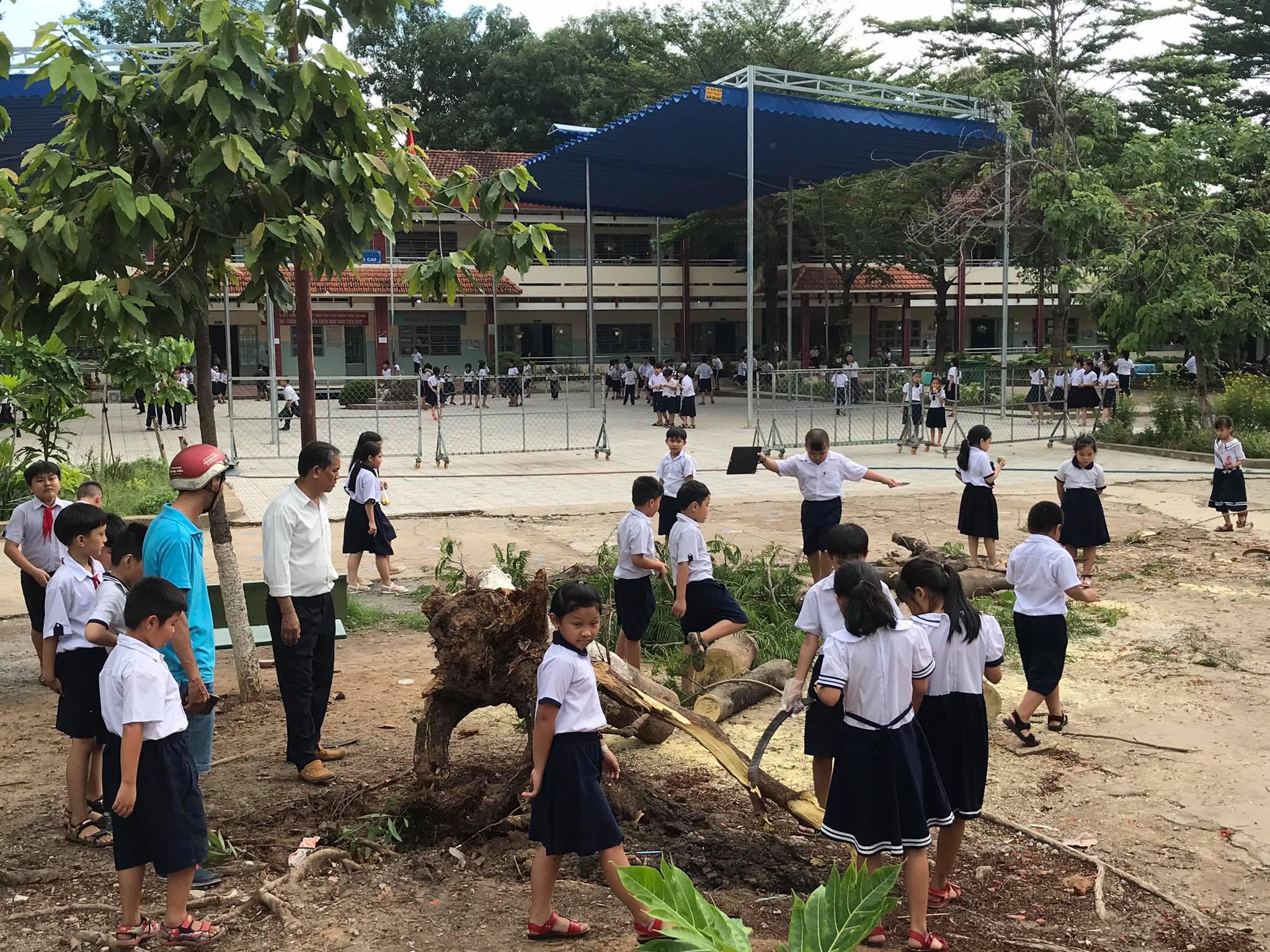 Một cây phượng lại bật gốc đổ trong sân trường tiểu học - Ảnh 1.