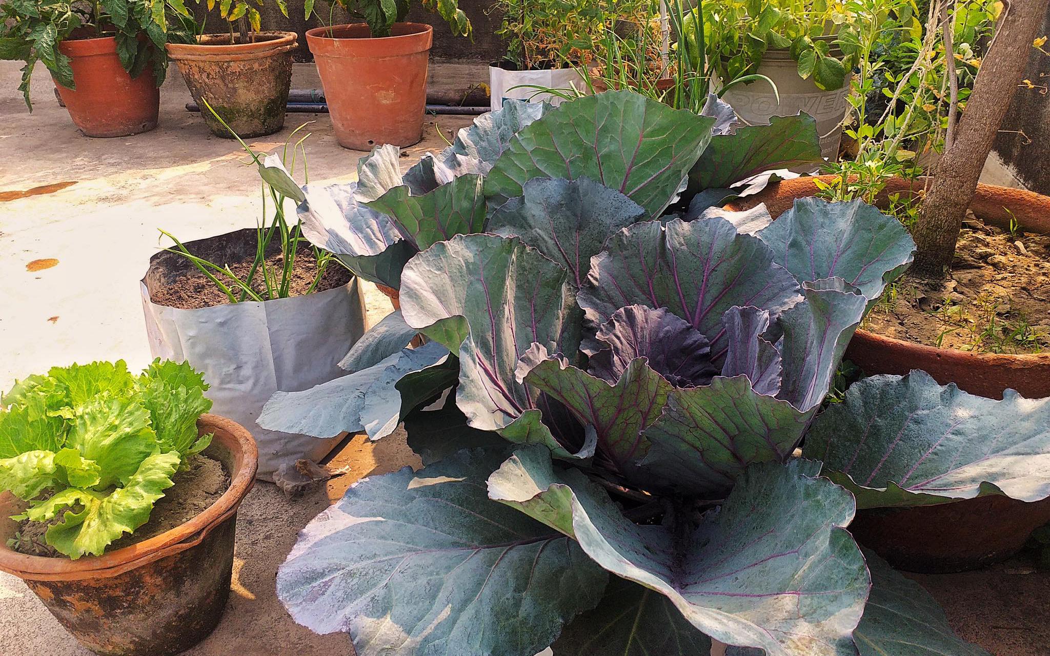 Sân thượng nắng chói chang vẫn trồng cả ''trang trại'' rau quả xanh um nhờ bí quyết đơn giản của chàng trai trẻ