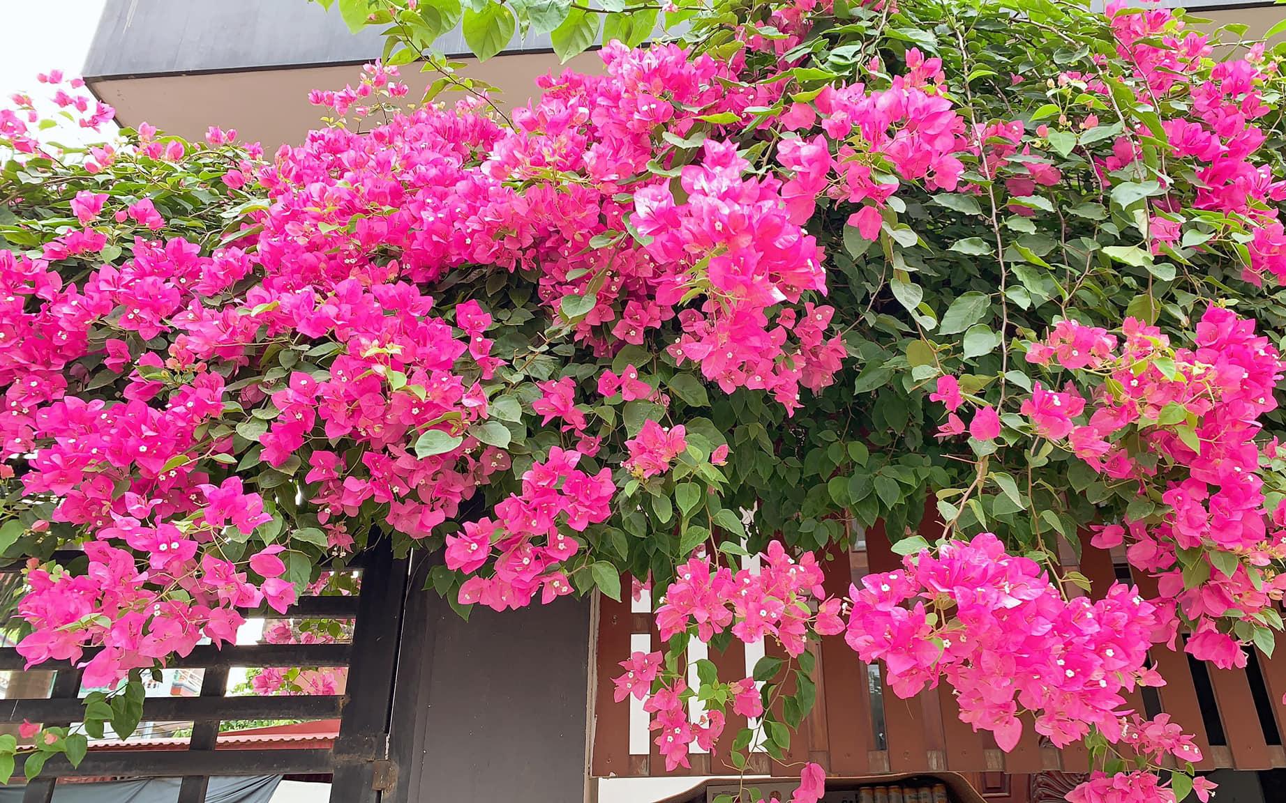 Từ gốc bị cưa cụt, sau 5 năm chăm sóc mẹ trẻ Hà Nội khiến ai đi qua cũng phải ngoái nhìn với giàn hoa giấy trước cổng