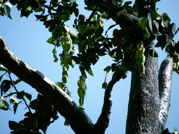 Kỳ lạ loài cây cho ra quả giống y hệt những thiếu nữ khỏa thân và những lý giải của cư dân mạng khiến ai cũng phải gật gù công nhận - Ảnh 5.