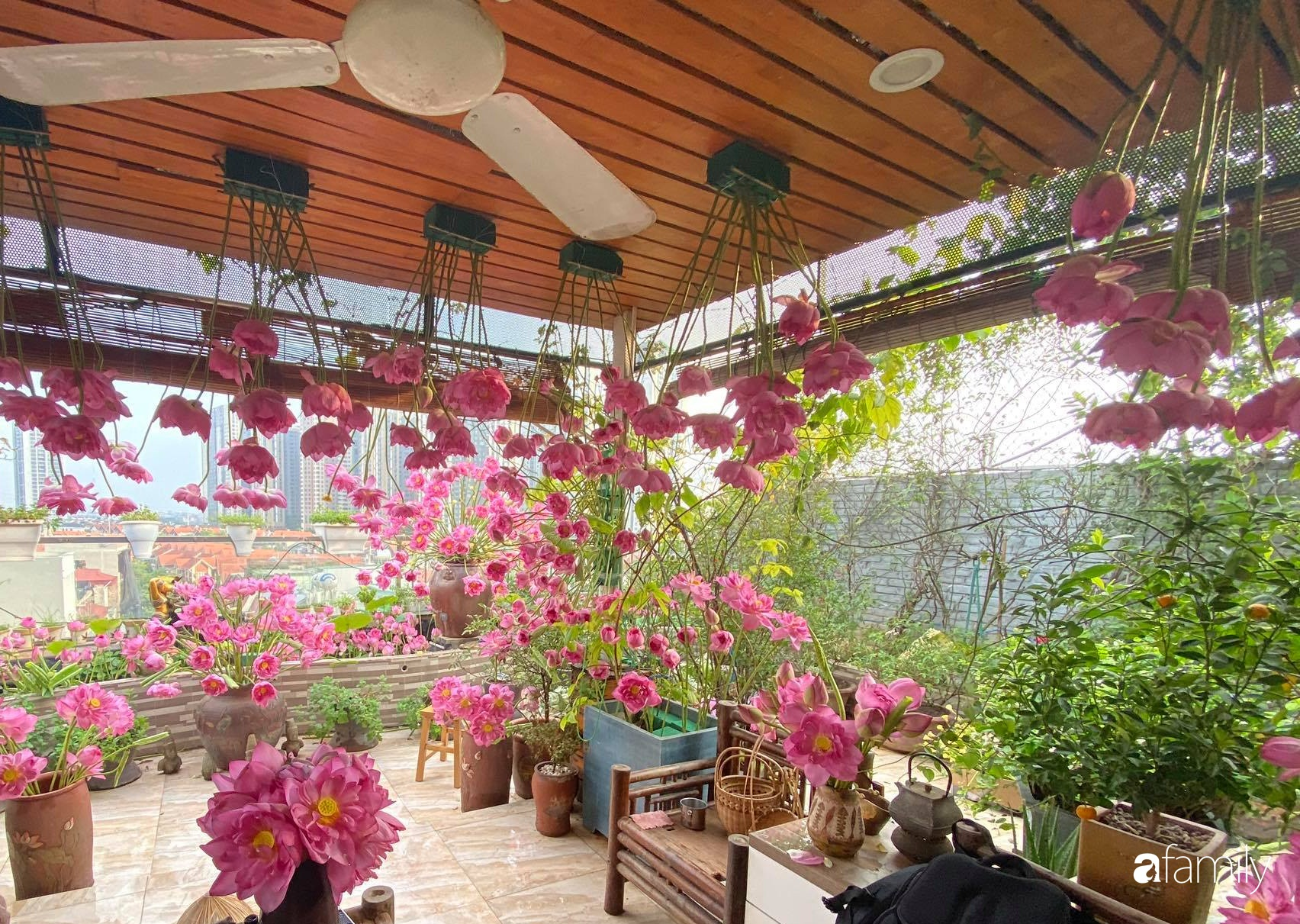 Bà mẹ Hà Nội tỉ mẩn dành 4 tiếng để tự cắm 1000 bông sen mang sắc màu mùa hạ lên sân thượng 200m² - Ảnh 3.