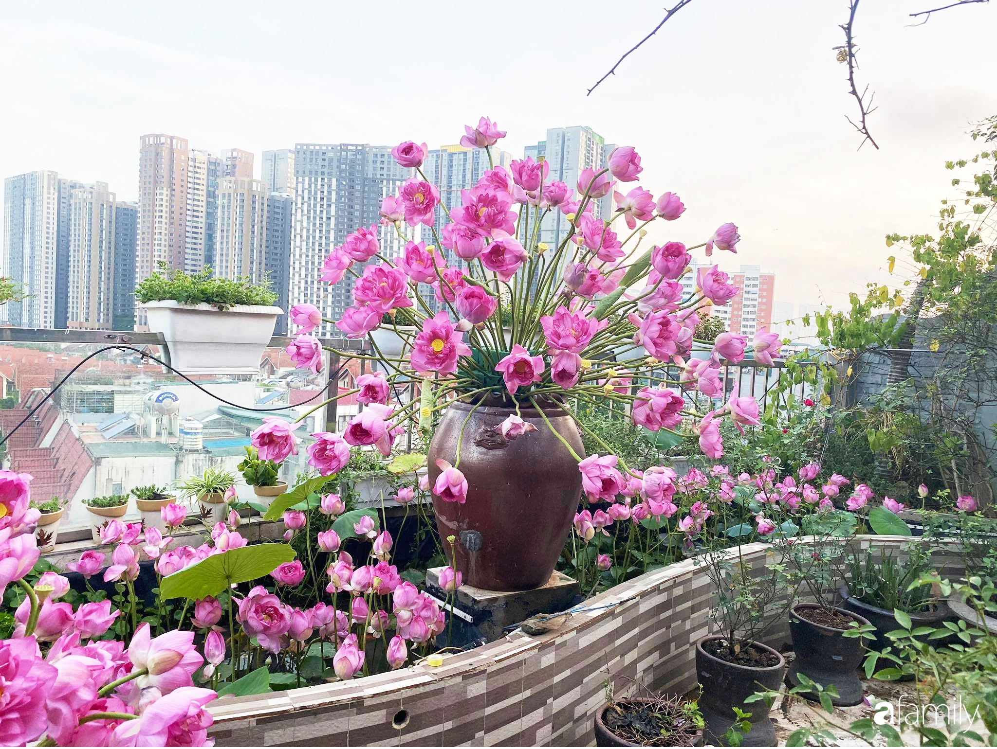 Bà mẹ Hà Nội tỉ mẩn dành 4 tiếng để tự cắm 1000 bông sen mang sắc màu mùa hạ lên sân thượng 200m² - Ảnh 8.