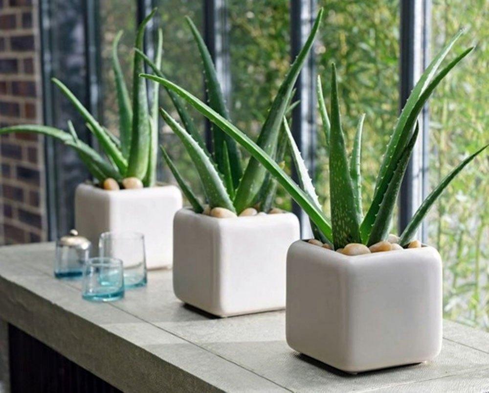 6 loại cây vừa trang trí không gian sống vừa giúp chữa bệnh hữu hiệu tại nhà - Ảnh 3.