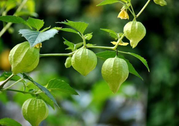 """Đây là loại quả mà người Việt chỉ coi là cỏ dại, sang Nhật được tôn """"thảo dược quý"""" chữa đủ thứ bệnh, bán giá 700k/kg vẫn cháy hàng - Ảnh 6."""