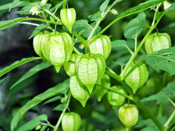 """Đây là loại quả mà người Việt chỉ coi là cỏ dại, sang Nhật được tôn """"thảo dược quý"""" chữa đủ thứ bệnh, bán giá 700k/kg vẫn cháy hàng - Ảnh 3."""
