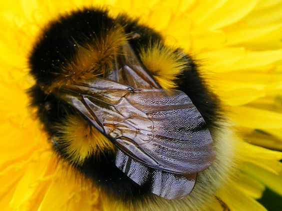 """Chú ong bị """"thần heo nhập"""", vì quá chăm chỉ hút mật nên độ béo ục ịch không cất nổi cánh bay! - Ảnh 2."""