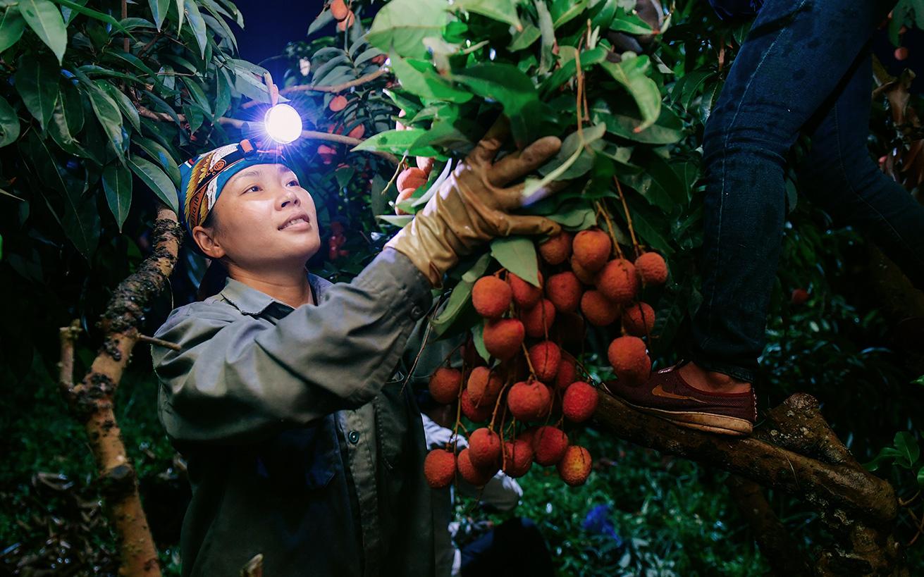 Lần đầu vào tận vườn vải xem cảnh người nông dân soi đèn pin đi thu hoạch