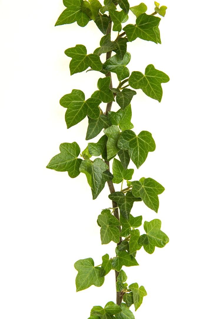 4 loại cây trồng vừa làm đẹp nhà vừa có thể giảm dị ứng từ chất độc có trong không khí - Ảnh 4.