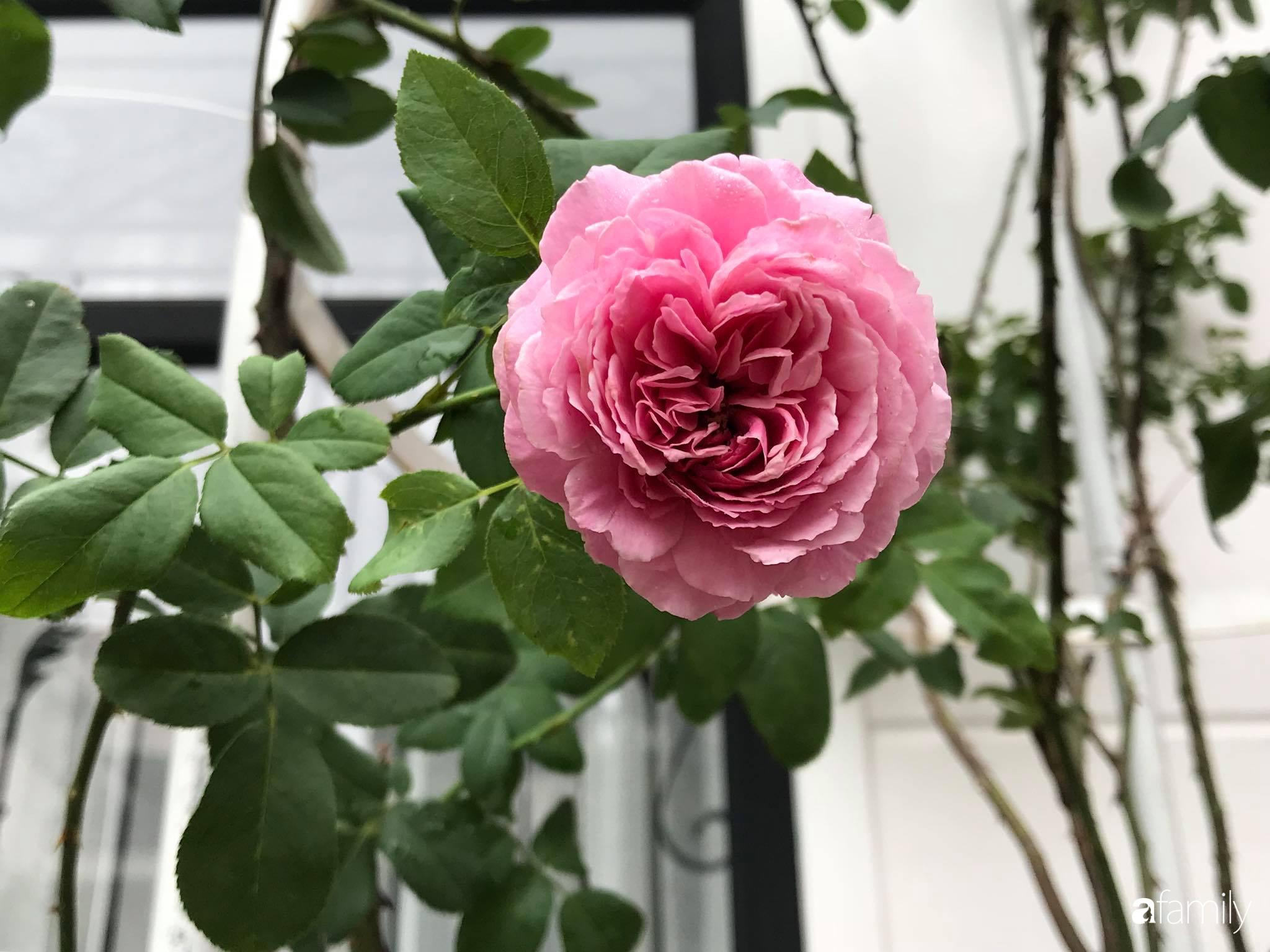 Biệt thự xanh mát bóng cây và hoa hồng rực rỡ của người phụ nữ yêu thiên nhiên ở TP. HCM - Ảnh 4.