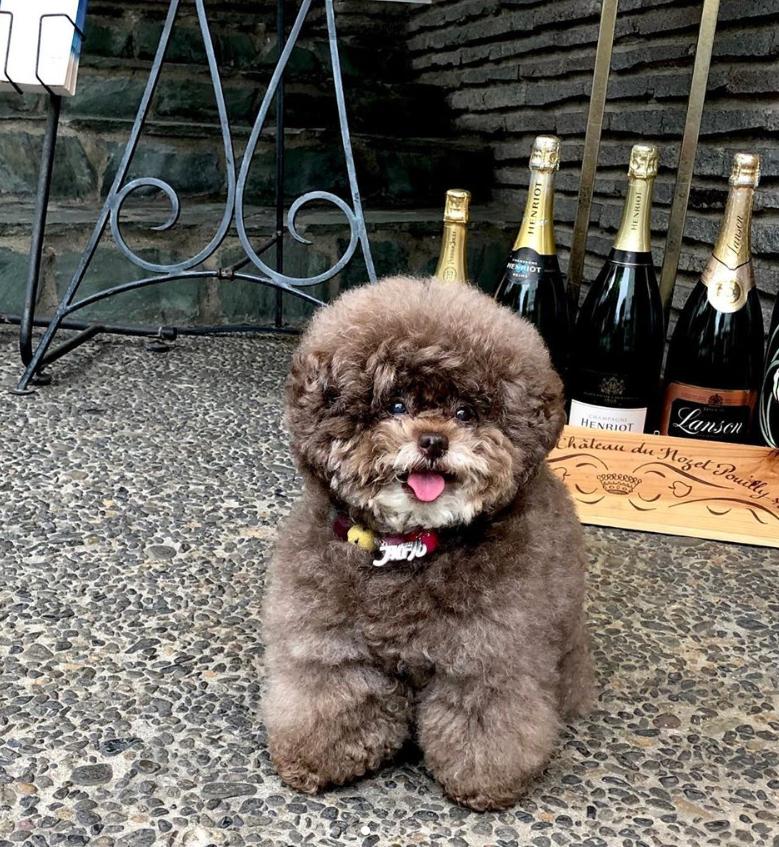 Dân mạng cười rần rần với cô chó Poodle mũm mĩm có dáng ngồi dỗi hờn cả thế giới, ngờ đâu đó lại là đại tiểu thư vạn người mê, tự đóng quảng cáo kiếm tiền cực xịn - Ảnh 11.
