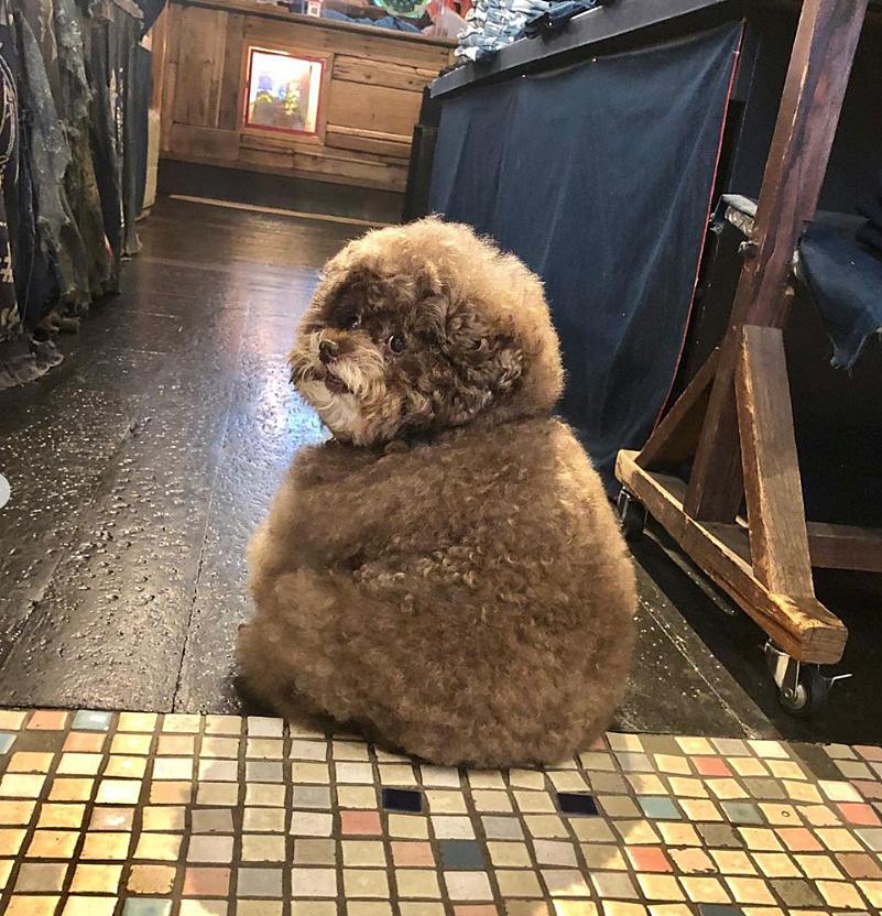 Dân mạng cười rần rần với cô chó Poodle mũm mĩm có dáng ngồi dỗi hờn cả thế giới, ngờ đâu đó lại là đại tiểu thư vạn người mê, tự đóng quảng cáo kiếm tiền cực xịn - Ảnh 1.