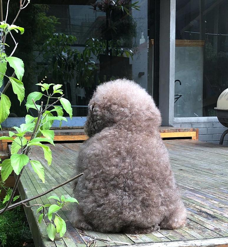 Dân mạng cười rần rần với cô chó Poodle mũm mĩm có dáng ngồi dỗi hờn cả thế giới, ngờ đâu đó lại là đại tiểu thư vạn người mê, tự đóng quảng cáo kiếm tiền cực xịn - Ảnh 26.