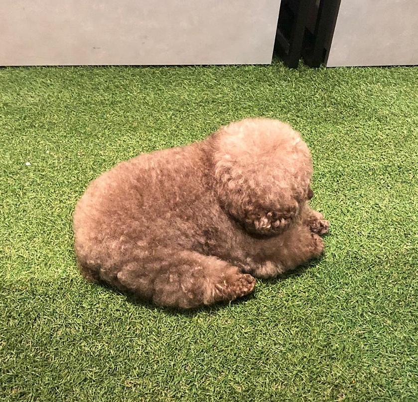 Dân mạng cười rần rần với cô chó Poodle mũm mĩm có dáng ngồi dỗi hờn cả thế giới, ngờ đâu đó lại là đại tiểu thư vạn người mê, tự đóng quảng cáo kiếm tiền cực xịn - Ảnh 6.