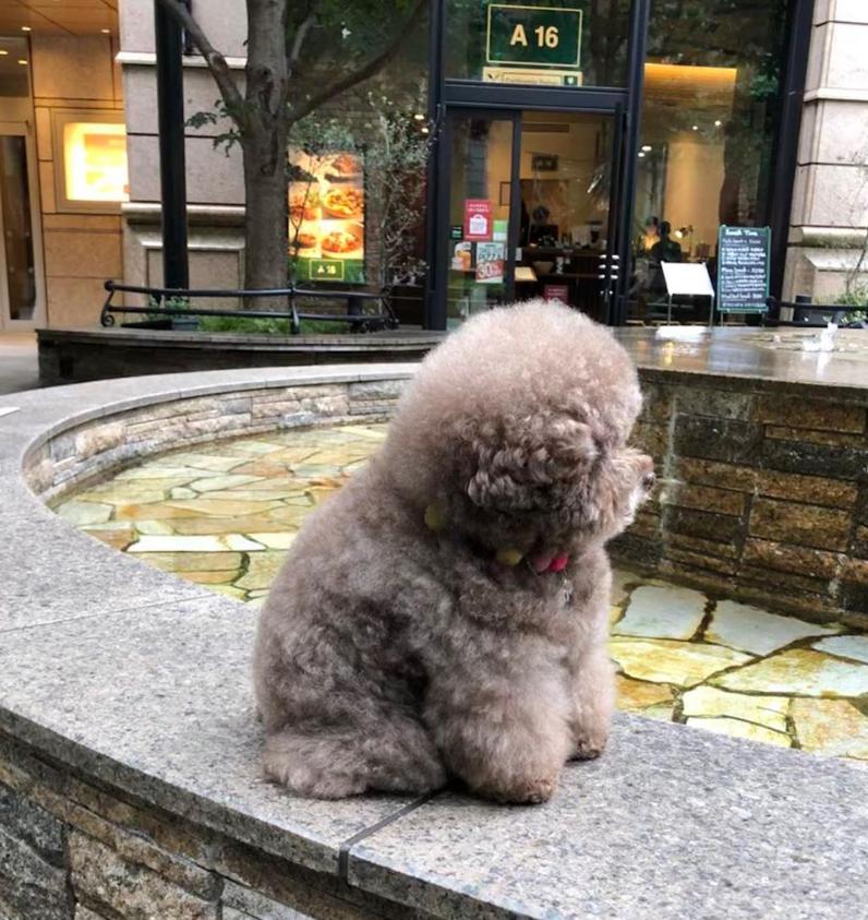Dân mạng cười rần rần với cô chó Poodle mũm mĩm có dáng ngồi dỗi hờn cả thế giới, ngờ đâu đó lại là đại tiểu thư vạn người mê, tự đóng quảng cáo kiếm tiền cực xịn - Ảnh 4.