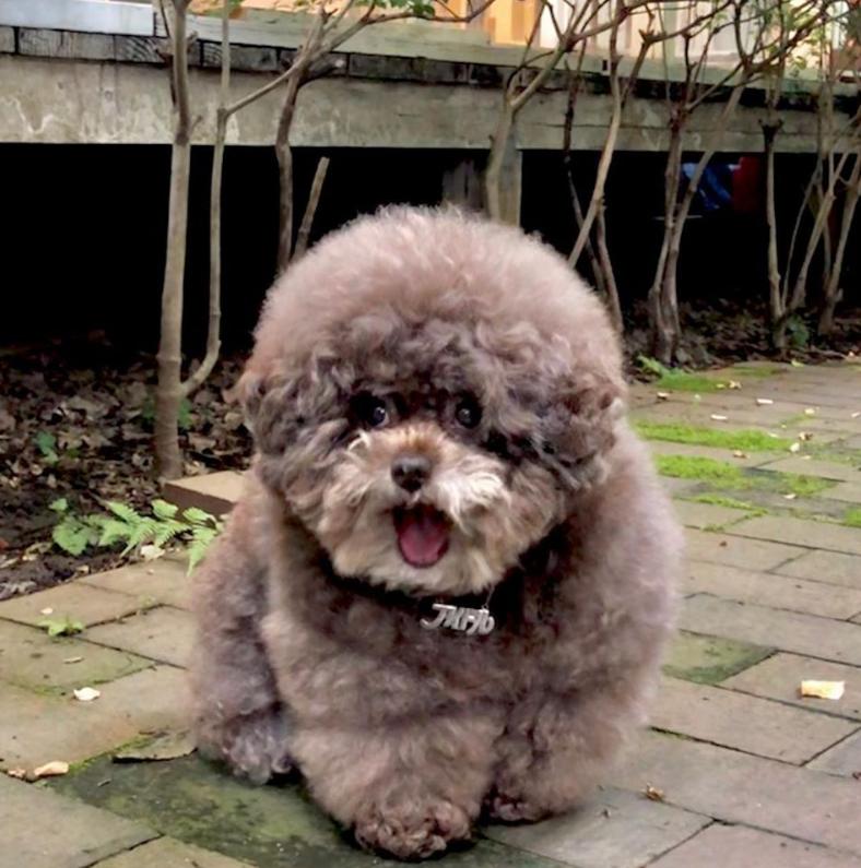 Dân mạng cười rần rần với cô chó Poodle mũm mĩm có dáng ngồi dỗi hờn cả thế giới, ngờ đâu đó lại là đại tiểu thư vạn người mê, tự đóng quảng cáo kiếm tiền cực xịn - Ảnh 21.