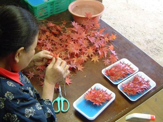 """Kỳ lạ nghề hái lá cây giúp """"hội chị em cao tuổi"""" Nhật Bản thu nhập hơn... 50 tỷ đồng/năm - Ảnh 5."""