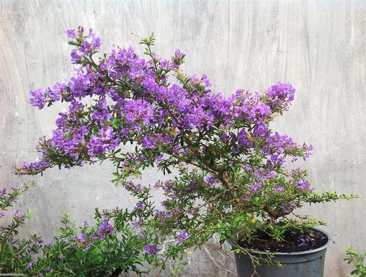 Những cây cảnh, loại hoa phù hợp để mừng tân gia, mừng thọ, khai trương - Ảnh 7.