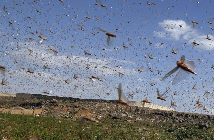 Chùm ảnh rợn người về đại dịch châu chấu đang hoành hành ở châu Phi: Binh đoàn nghìn tỷ con châu chấu với sức ăn bằng 35.000 người/ngày bay kín trời - Ảnh 22.