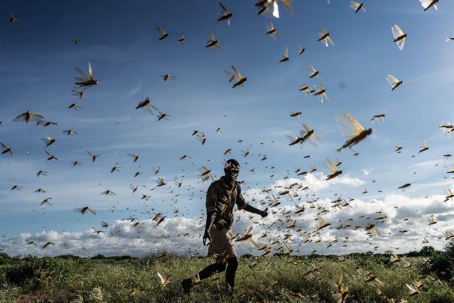 Chùm ảnh rợn người về đại dịch châu chấu đang hoành hành ở châu Phi: Binh đoàn nghìn tỷ con châu chấu với sức ăn bằng 35.000 người/ngày bay kín trời - Ảnh 24.