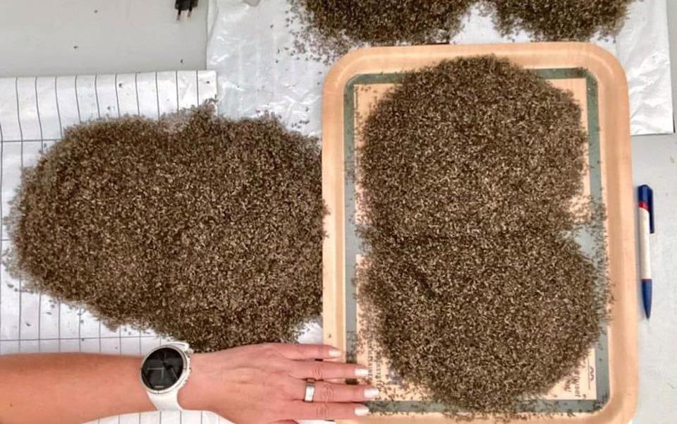 Bức ảnh ai cũng nghĩ là đống đất nhưng sự thật lại là hàng trăm nghìn con muỗi vừa được bẫy sập, thấy thôi cũng rùng mình