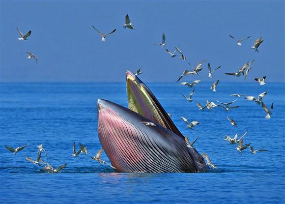 Khoảnh khắc ấn tượng khi cá voi ngoạm người đàn ông trong miệng chỉ thấy được đầu và một phần thi thể, kết cục của câu chuyện khó ngờ hơn - Ảnh 3.