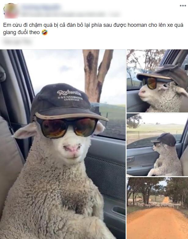 """Cừu con lạc đàn liền được tài xế tốt bụng cho đi nhờ, đã thế còn cho mượn quả kính râm """"cực ngầu"""" để ngồi hưởng thụ ngắm mây trời! - Ảnh 1."""