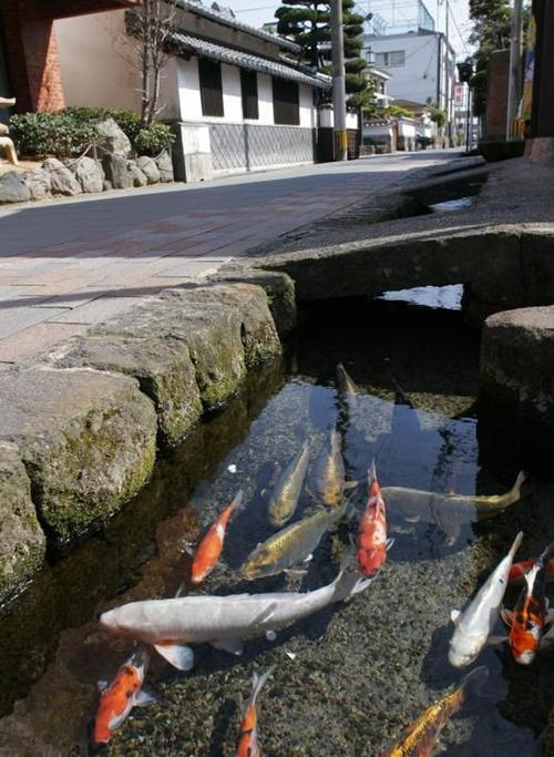 Chứng minh độ sạch của cống rãnh, Nhật Bản nuôi cá Koi thành từng đàn dưới làn nước cống trong vắt - Ảnh 5.