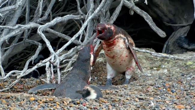 """Những sự thật thú vị về chim cánh cụt khiến bạn phải """"ố á"""" vì ngạc nhiên, hóa ra loài vật dễ thương này còn có cả kho tàng những câu chuyện hài hước - Ảnh 3."""