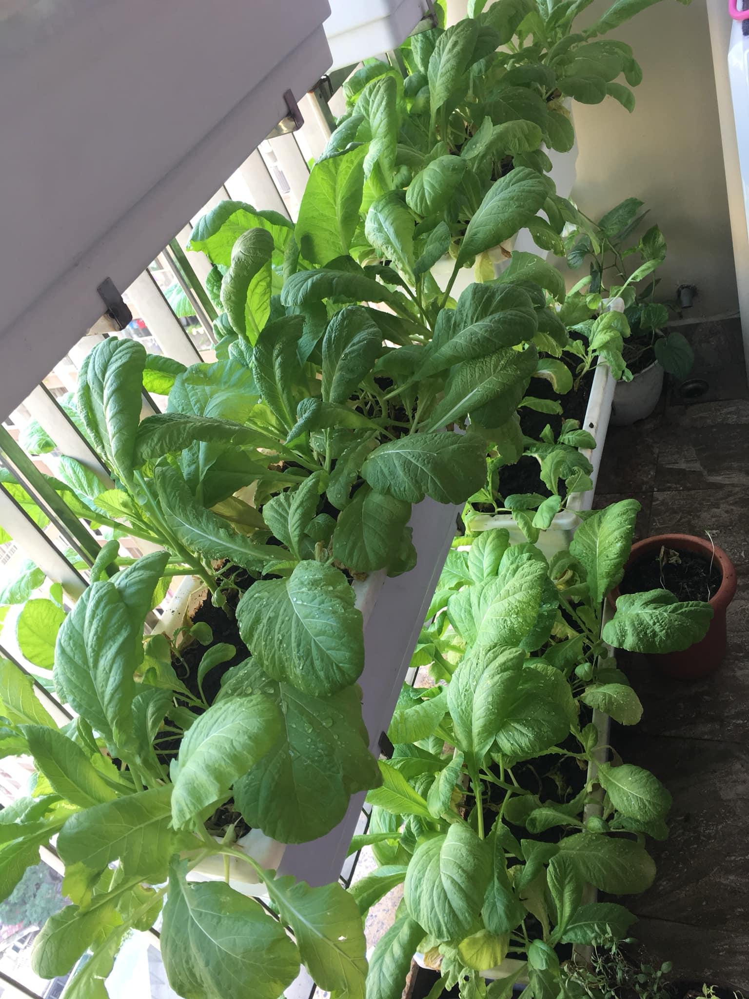 Với chi phí 2,5 triệu đồng, bà mẹ Hà Nội trồng đủ loại rau sạch cho các con thưởng thức hàng ngày - Ảnh 7.