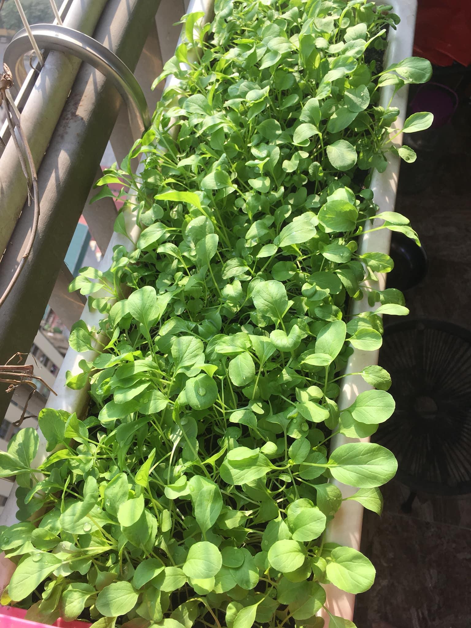 Với chi phí 2,5 triệu đồng, bà mẹ Hà Nội trồng đủ loại rau sạch cho các con thưởng thức hàng ngày - Ảnh 9.