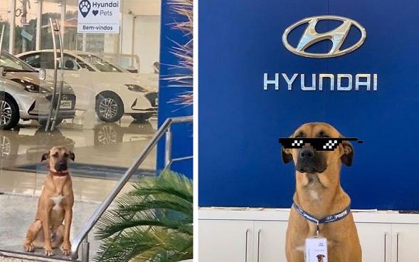 Cún hoang đẹp trai được đại lý ô tô Hyundai tuyển dụng, bao ăn ở, vừa làm 3 tháng đã thăng chức 2 lần