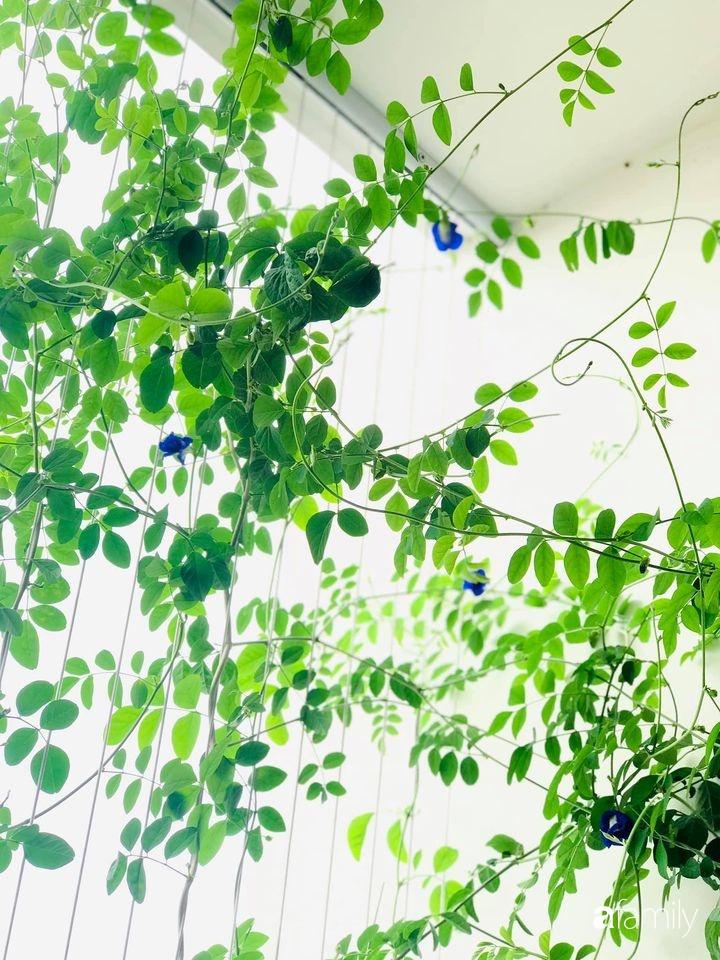 """Mẹ đảm tại Hà Nội chỉ cách trồng cây đậu biếc xanh tốt trong vườn nhà, còn lấy hoa làm đủ món ai nhìn cũng """"phát mê"""" - Ảnh 8."""