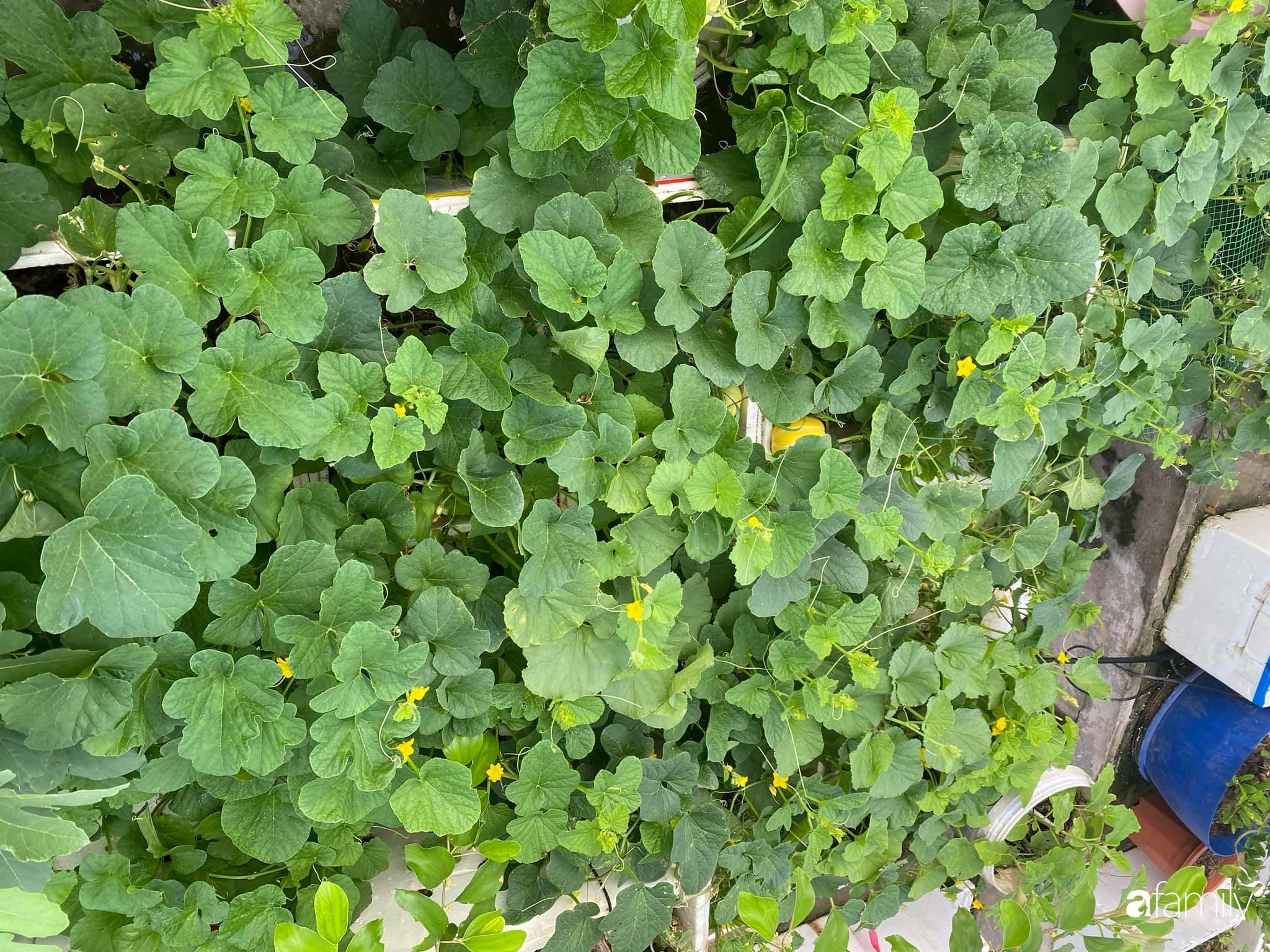 Tận dụng sân thượng chung cư, nữ giám đốc Hà Nội chi 8 triệu trồng đủ loại rau quả sạch - Ảnh 5.