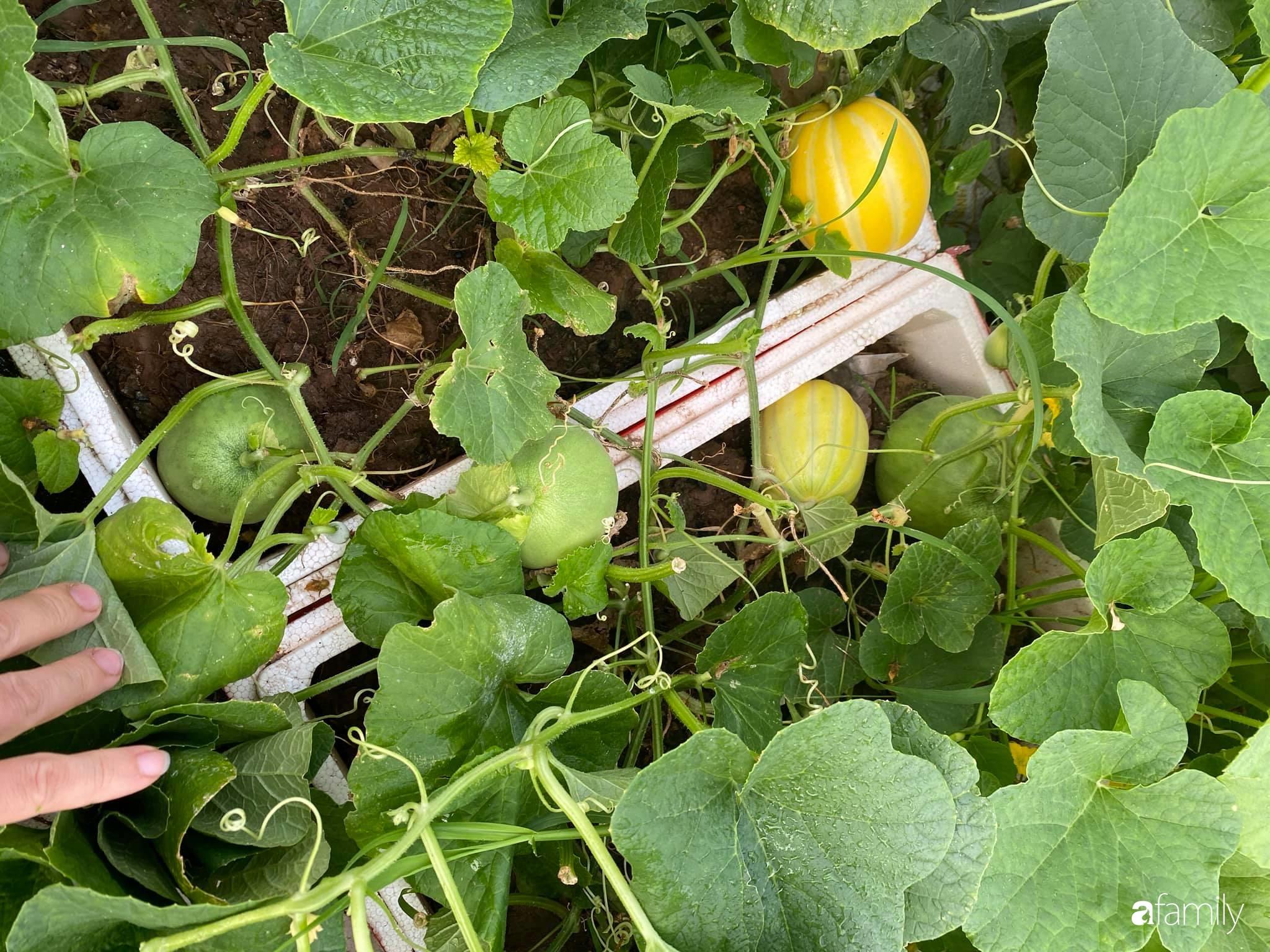 Tận dụng sân thượng chung cư, nữ giám đốc Hà Nội chi 8 triệu trồng đủ loại rau quả sạch - Ảnh 9.