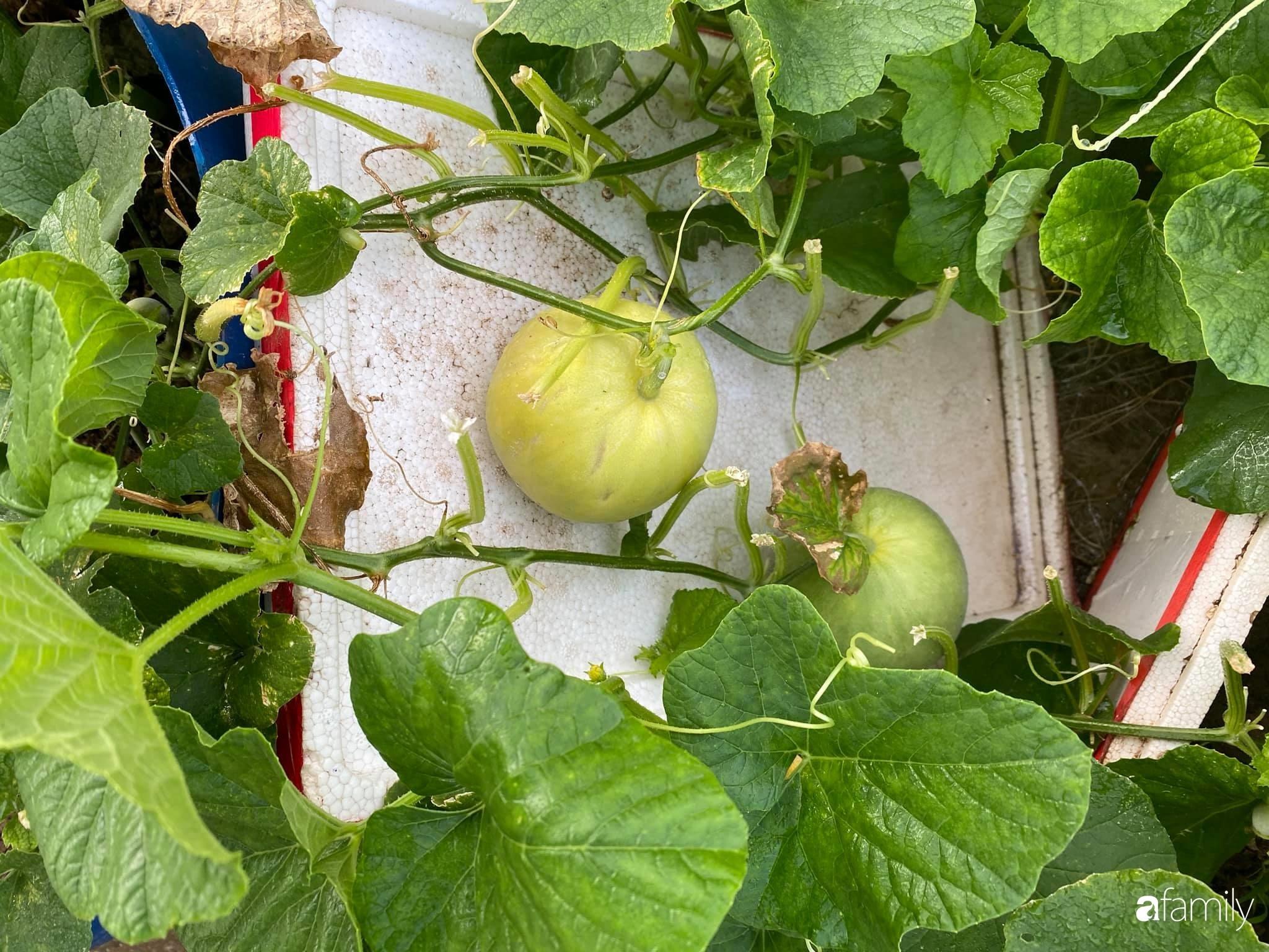 Tận dụng sân thượng chung cư, nữ giám đốc Hà Nội chi 8 triệu trồng đủ loại rau quả sạch - Ảnh 11.