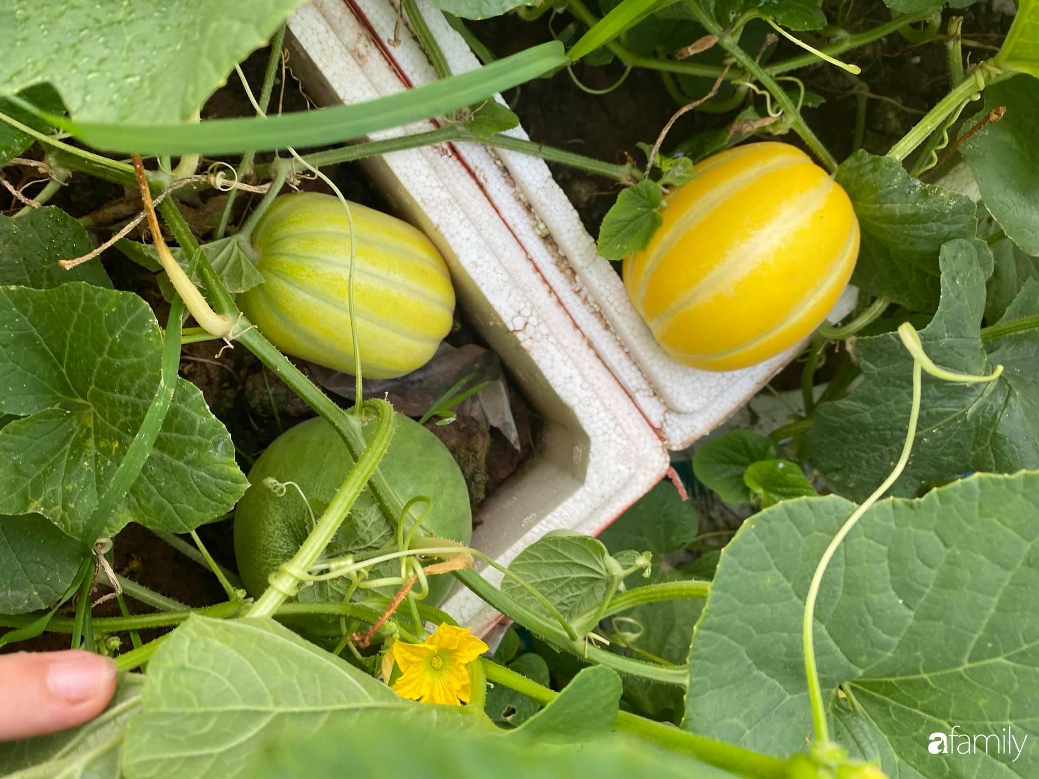 Tận dụng sân thượng chung cư, nữ giám đốc Hà Nội chi 8 triệu trồng đủ loại rau quả sạch - Ảnh 10.