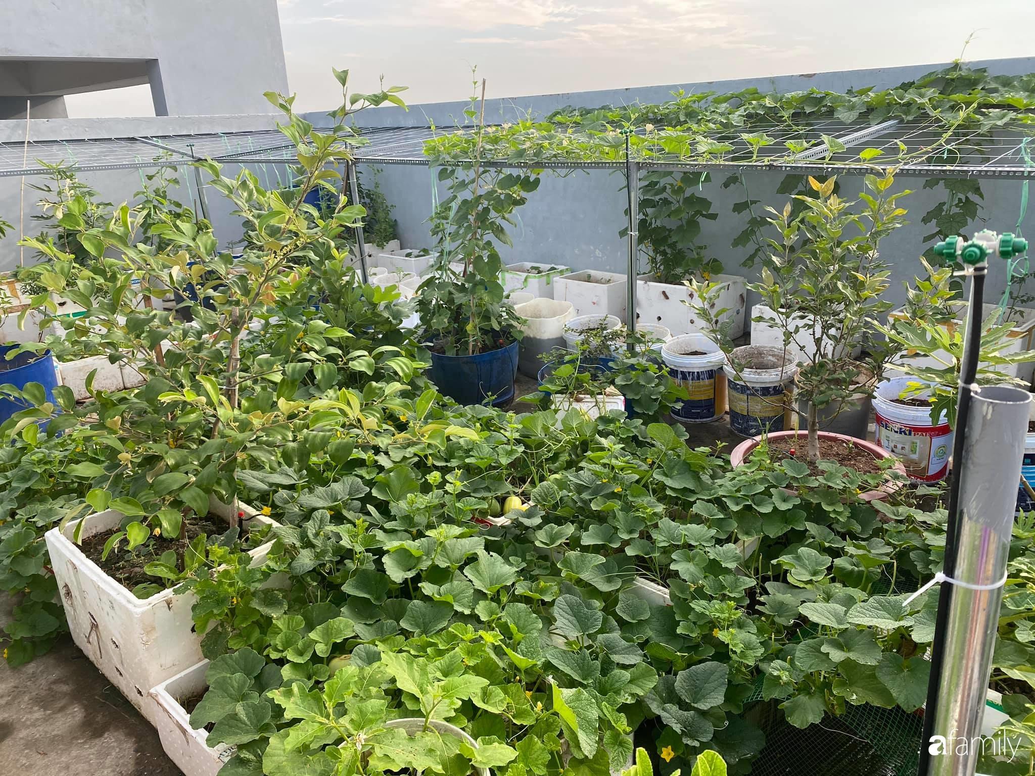 Tận dụng sân thượng chung cư, nữ giám đốc ở Hà Nội đã trồng được một vườn rau đủ loại rau quả sạch với 8 triệu tiền đầu tư